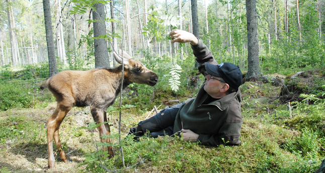 In Ockelbo Nature and Elk Park, a man lies comfortably on the ground in the woods, accompanied by a small elk calf.
